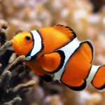 27-02-17-clown-fish13232