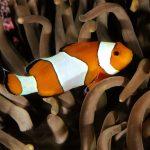 27-02-17-clown-fish16092