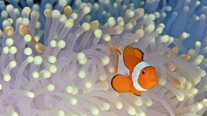 27-02-17-clownfish-anemone16972