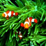 27-02-17-clownfish-family13616