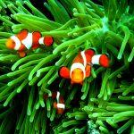 27-02-17-clownfish-family13616