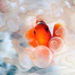 27-02-17-clownfish-in-anemone13439