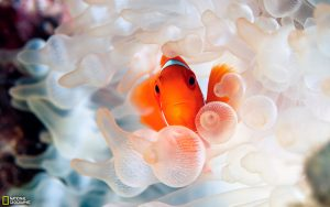 27-02-17-clownfish-in-anemone13439