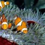 27-02-17-clownfish-pictures17099