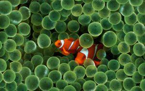 27-02-17-clownfish-wallpaper16731