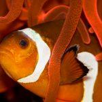 27-02-17-clownfish10466