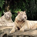 27-02-17-couple-white-tigers16838