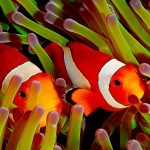 27-02-17-cute-clownfish17551