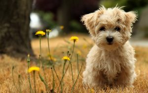 27-02-17-cute-maltese-dog15028