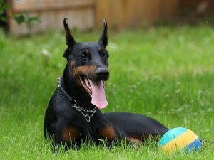 27-02-17-dog-doberman17233