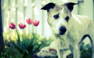 27-02-17-dog-tulips-flowers16174