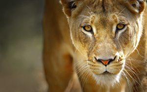 27-02-17-female-lion1663-7