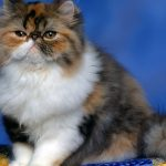 27-02-17-fluffy-persian-cat17246