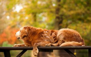 27-02-17-golden-retriever-dog-leaf-autumn10827