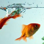 27-02-17-goldfish17726