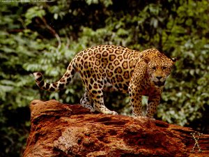 27-02-17-jaguar-the-big-cat14296