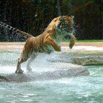 27-02-17-jumping-tiger13895