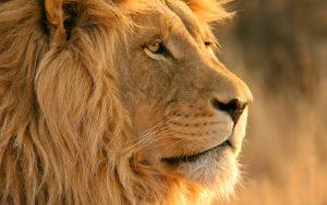 27-02-17-lion-head-backg-round17486