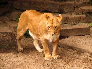 27-02-17-lion-wallpaper7-281
