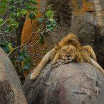 27-02-17-lion14493-