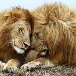 27-02-17-lions-wallpaper-7284