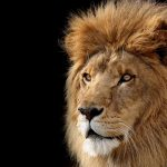 27-02-17-lions-wallpaper-9534