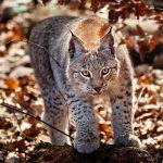27-02-17-lynx-cat16316