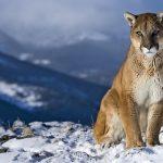 27-02-17-mountain-lion-w-allpaper7279