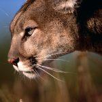 27-02-17-mountain-lion-w-allpaper8847