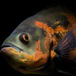27-02-17-red-black-oscar-fish12973