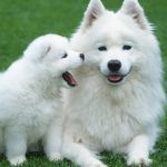 27-02-17-siberian-samoyed-dogs13443