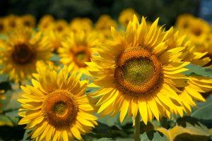 27-02-17-summer-sunflowers-hd15775