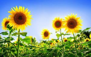 27-02-17-sunflower-field-wallpaper6347