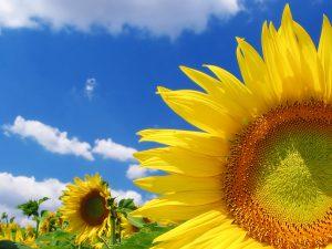 27-02-17-sunflower-wallpaper18288