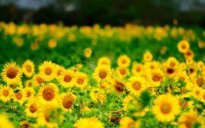 27-02-17-sunflower-wallpaper6352