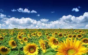 27-02-17-sunflowers-field18370