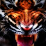 27-02-17-tiger-face-wallpaper16632