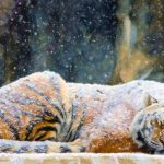 27-02-17-tiger-snowing-art17043