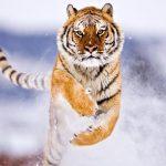27-02-17-tiger-wallpaper-download15128