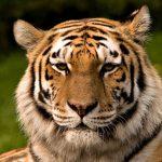27-02-17-tiger12004
