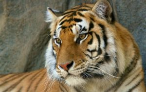 27-02-17-tiger9529