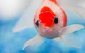27-02-17-underwater-goldfish10153