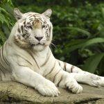 27-02-17-white-tiger9528