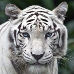 28-02-17-amazing-white-tiger10653