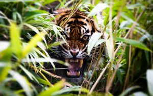 28-02-17-angry-tiger-in-bush10732