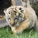 28-02-17-baby-tiger-wallpapers2451