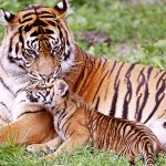 28-02-17-baby-tiger-wallpapers9522