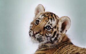 28-02-17-baby-tiger9523