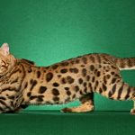 28-02-17-bengal-cat-pictures16655