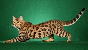 28-02-17-bengal-cat-pictures16655